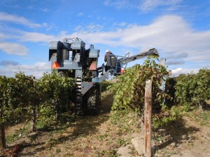 hyatt-vineyards-harvest-in-vineyard-close-up