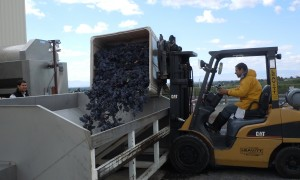 Grapes being loaded at the winery - 2013 Crush