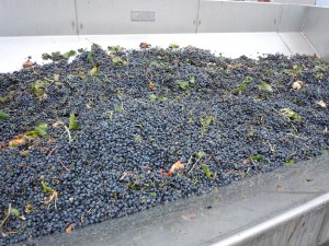 hyatt-vineyards-merlot-grapes